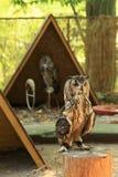 Bengal Eagle Owl Imagens de Stock