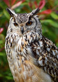 Bengal Eagle Owl stockbild