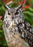 Bengal Eagle Owl Stockbild