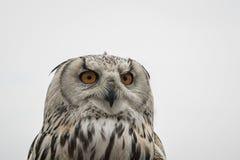 Bengal eagle-owl, Bubo bengalensis. Close-up portrait of the head of a Bengal eagle-owl, Bubo bengalensis stock image