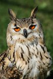 Bengal Eagle Owl Portrait Royalty Free Stock Photos