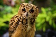 Bengal Eagle Owl portrait Royalty Free Stock Photo