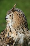 Bengal Eagle Owl Profile Stock Photos