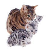 Bengal family Royalty Free Stock Photo