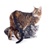 Bengal family Stock Photo