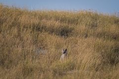 Bengal fox or indian fox or Vulpes bengalensis playing. At ranthambore national park, rajasthan, india stock photo