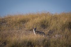 Bengal fox or indian fox or Vulpes bengalensis playing royalty free stock image