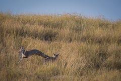 Bengal fox or indian fox or Vulpes bengalensis playing. At ranthambore national park, rajasthan, india stock image