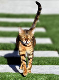 Bengal house cat running toward the camera. Royalty Free Stock Photography