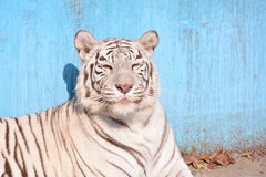 Bengal or Indian Tiger stock photo