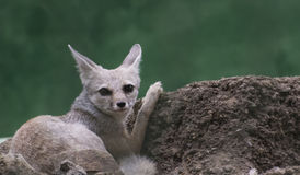 Bengal/indischer Fox lizenzfreies stockbild