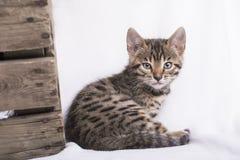 Bengal-Kätzchen lizenzfreie stockbilder