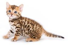 Bengal-Kätzchen Lizenzfreies Stockbild