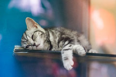 Bengal-Kätzchen Stockbild