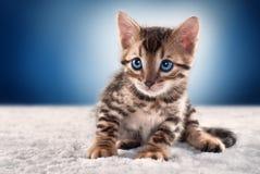 Bengal-Kätzchen auf blauem Hintergrund Lizenzfreie Stockbilder