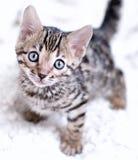 Bengal-Kätzchen gespielt Stockbild