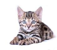 Bengal-Kätzchen lokalisiert auf weißem Hintergrund Stockfotografie