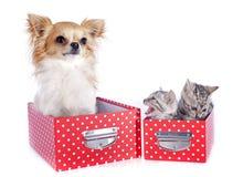 Bengal-Kätzchen und -Chihuahua stockbilder