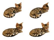 Bengal-Kätzchen während des Schlafes und nachher Lizenzfreie Stockfotos