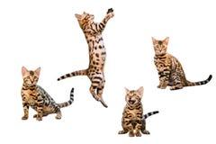 Bengal-Kätzchenspielen lokalisiert auf weißem Hintergrund Stockfoto