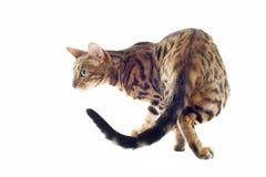 Bengal katt Royaltyfri Foto