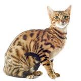 Bengal katt Arkivfoton