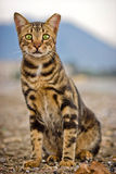 Bengal katt Royaltyfri Fotografi