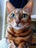 Bengal katt: Bengal katthuvud som hemma tas Fotografering för Bildbyråer