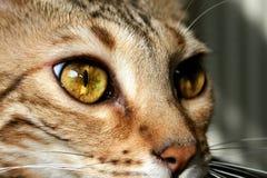 Bengal katt: Closeup för Bengal kattögon Royaltyfria Bilder