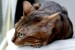 Bengal katt: Closeup för Bengal katthuvud Arkivbild