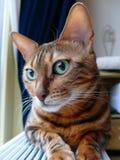 Bengal katt: Head se för Bengal katt blygt i väg från kamera Arkivfoto