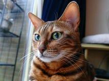 Bengal katt: Head se för Bengal katt bort Royaltyfri Fotografi