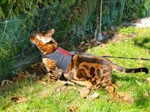 Bengal katt på en sele och en koppel som utanför sniffar dofter royaltyfri foto
