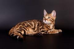 Bengal katt på en svart bakgrund arkivfoto