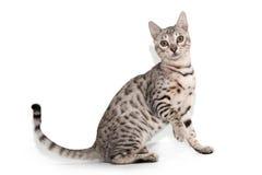 Bengal katt på vit bakgrund Arkivfoton