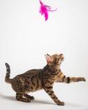 Bengal katt som spelar på vit bakgrund Arkivbilder