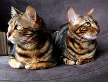 Bengal katt: Två bengalskatter som sitter bredvid de som ser mitt emot sidor Arkivfoto
