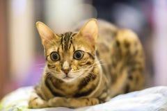 Bengal katthandbok i huset Fotografering för Bildbyråer