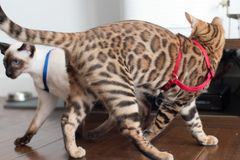 Bengal kattunge i röd sele royaltyfri foto