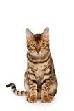 Bengal-Katze Stockbilder