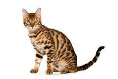 Bengal-Katze Lizenzfreie Stockfotografie