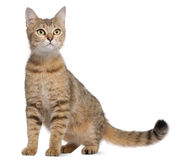 Bengal-Katze, 19 Monate alte, sitzend Lizenzfreies Stockfoto