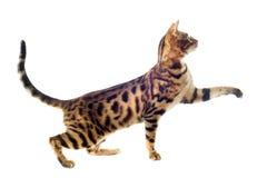 Bengal-Katze lizenzfreie stockfotos
