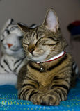 Bengal-Katze Lizenzfreies Stockfoto