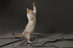 Bengal-Katze Lizenzfreie Stockbilder