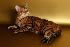 Bengal-Katze auf Goldhintergrund und zurück -schauen Lizenzfreies Stockfoto