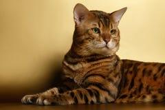 Bengal-Katze auf Goldhintergrund und zurück -schauen Lizenzfreie Stockfotografie