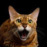 Bengal-Katze auf schwarzem Hintergrund Stockfotografie