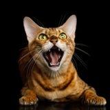 Bengal-Katze auf schwarzem Hintergrund Lizenzfreies Stockfoto
