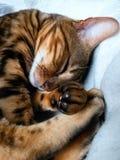 Bengal-Katze: Bengal-Katzenschlafen zu Hause genommen Stockfotografie